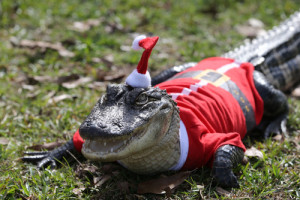 post-11746-Christmas-Alligator-h2a8