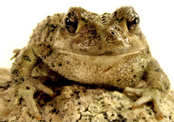 American Toad | Nature Critter's Animal Presentations