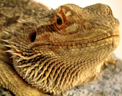 Bearded Dragon | Nature Critter's Animal Presentations