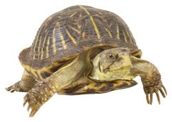 Box Turtle   Nature Critter's Animal Presentations