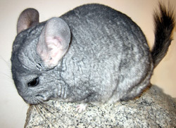 Chinchilla | Nature Critter's Animal Presentations