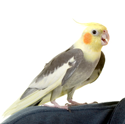 Cockatiel | Nature Critter's Animal Presentations
