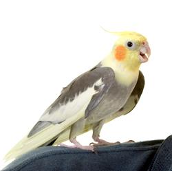 Cockatiel   Nature Critter's Animal Presentations