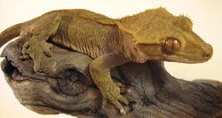 Crested Gecko | Nature Critter's Animal Presentations