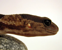 Fat-Tail Gecko | Nature Critter's Animal Presentations
