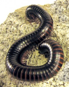 Millipede | Nature Critter's Animal Presentations