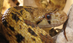 Gopher Snake | Nature Critter's Animal Presentations