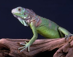 Green Iguana | Nature Critter's Animal Presentations