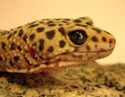 Leopard Gecko | Nature Critter's Animal Presentations
