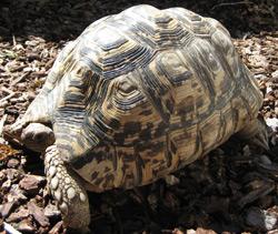 Leopard Tortoise   Nature Critter's Animal Presentations