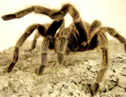 Chilean Rose-haired Tarantula | Nature Critter's Animal Presentations