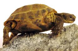 Russian Tortoise   Nature Critter's Animal Presentations