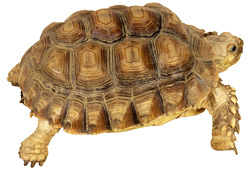 Sulcata Tortoise   Nature Critter's Animal Presentations