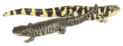Tiger Salamanders   Nature Critter's Animal Presentations
