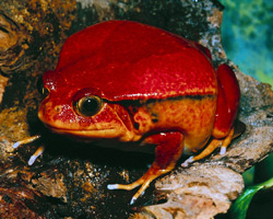 Tomato Frog | Nature Critter's Animal Presentations