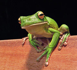 White Lipped Tree Frog | Nature Critter's Animal Presentations