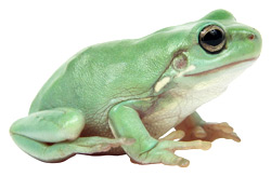 White's Tree Frog   Nature Critter's Animal Presentations