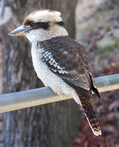 Laughing Kookaburra | Nature Critter's Animal Presentations