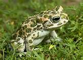 European Toad | Nature Critter's Animal Presentations